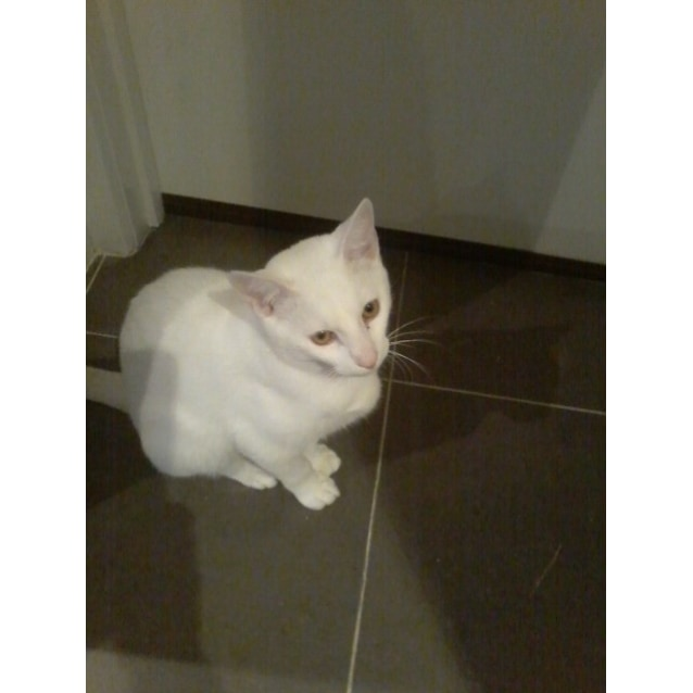 Photo of Leroy 🐾 Playful White Panther Cat