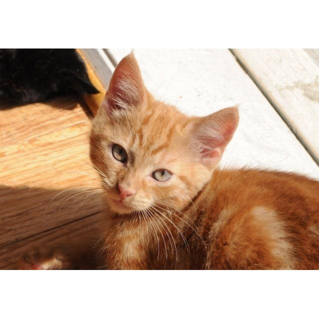 Photo of Marmalade 🐅 Dark Ginger Tiger Kitten