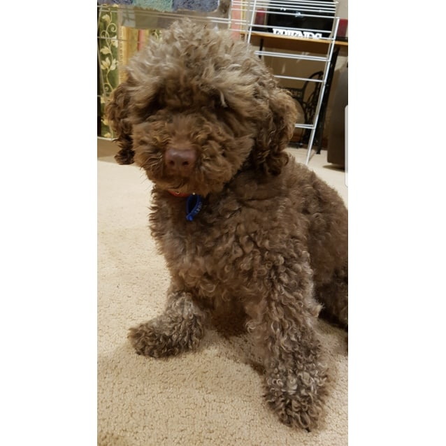 George - Small Male Bichon Frise x Poodle Dog in VIC - PetRescue