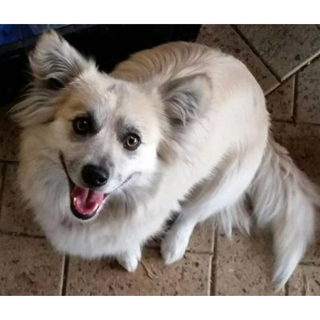 Paris Hilton Small Female Welsh Corgi Mix Dog In Wa Petrescue