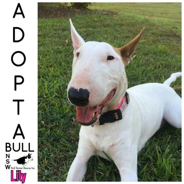 Photo of Adoptabull   Lily