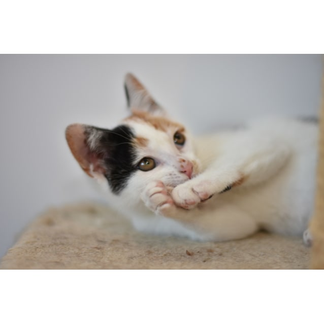 Photo of Lexi ***2nd Chance Cat Rescue***