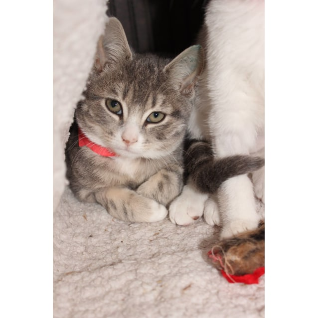 Photo of Piper **2nd Chance Cat Rescue**