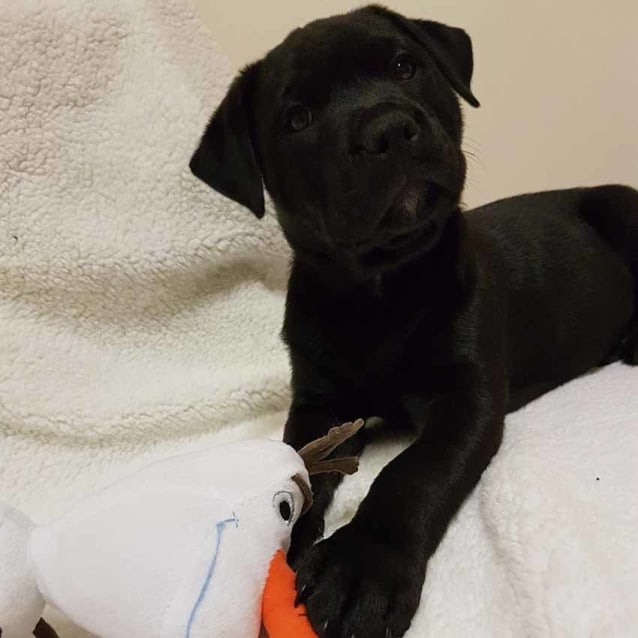 Photo of Libby ~ Female Rotti X Lab Puppy (On Trial 17/6/17