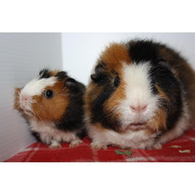Patrick & Star - Male Short-hair Abyssinian x Rex Guinea Pig