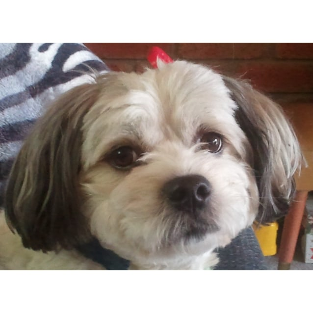Jack Small Male Shih Tzu X Maltese X Japanese Chin Dog In Vic