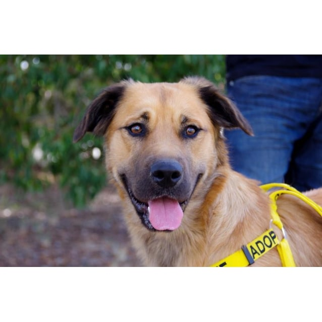 Pretty Rosie Medium Female Golden Retriever X Cross Breed Dog In