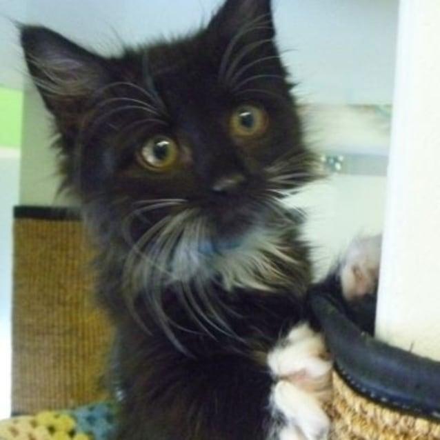 Socks 757606 - Male Domestic Short Hair Cat in VIC - PetRescue