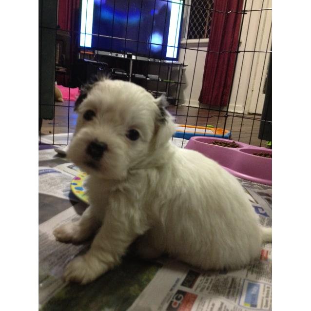 Stunning Maltese X Shih Tzu X Chihuahua Puppies Small Male Maltese