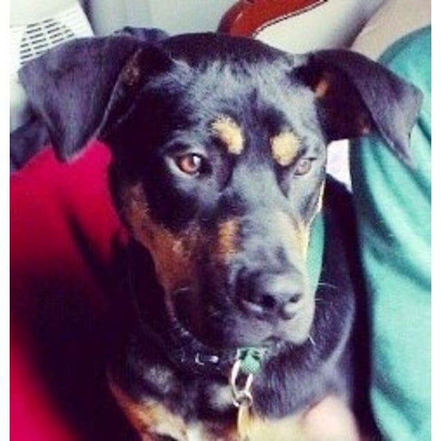 Netto - Large Male Rottweiler x Whippet Mix Dog in VIC