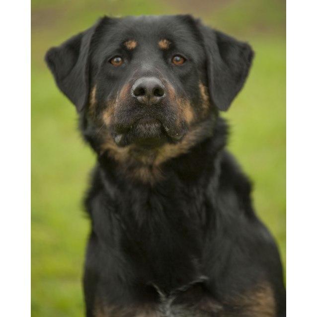 Gemma Id15111 Large Female Doberman X Rottweiler Mix Dog