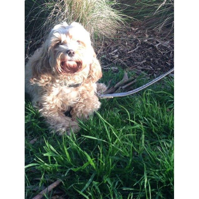 Bluebell Small Female Cavoodle Dog In Vic Petrescue