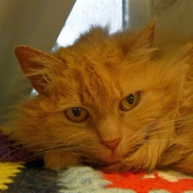 Febey 769298 - Female Domestic Long Hair Cat in VIC - PetRescue