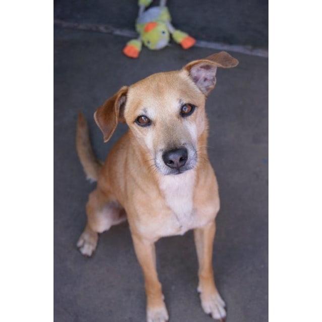 Fudge Small Male Dingo X Chihuahua Dog In Wa Petrescue