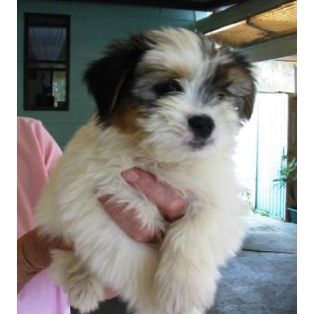 Sydney - Medium Male Maltese x Shih Tzu Dog in NSW - PetRescue