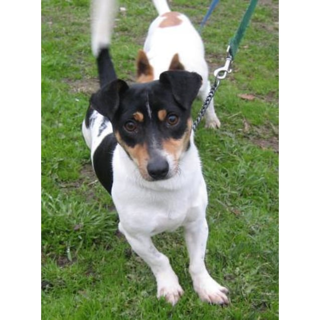 Scout - Small Male Jack Russell Terrier Mix Dog in VIC