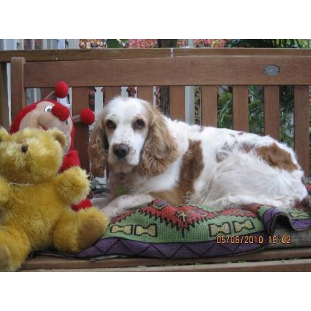 Lisa - Small Female Cocker Spaniel x Welsh Springer Mix Dog