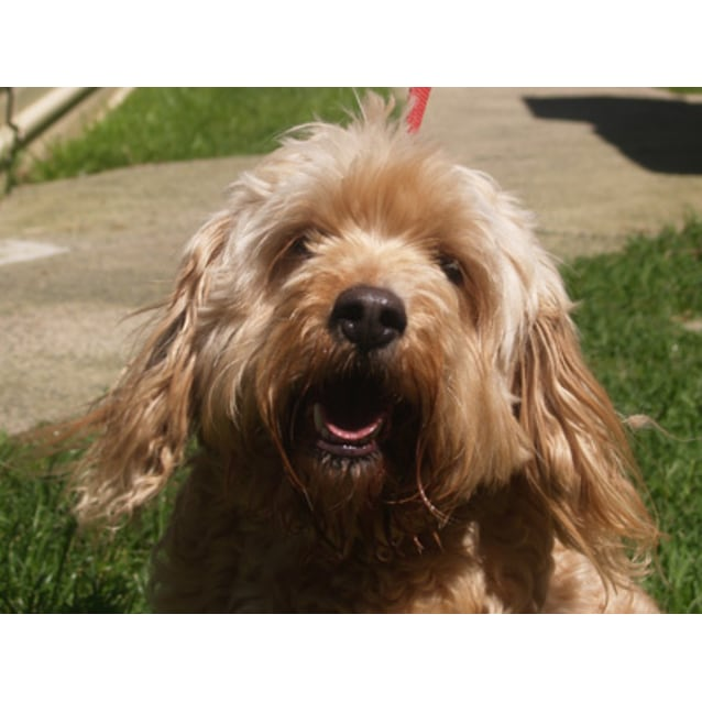 Harry Small Male Cavoodle Dog In Vic Petrescue