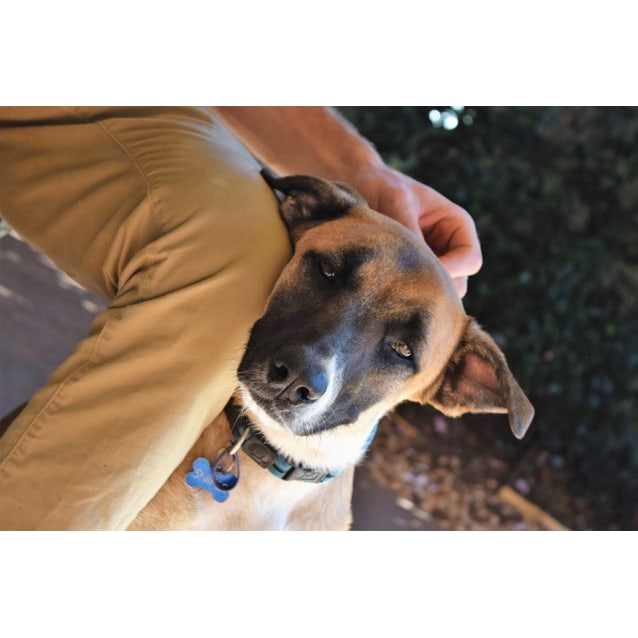 Sniper - Will be at Rspca Big Adopt Out - Medium Male Kelpie Mix Dog