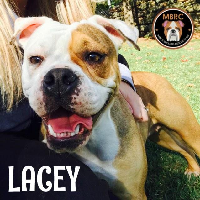 Photo of Lacey The Bulldog 2 Yo