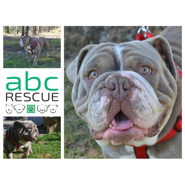 Kash - Medium Male British Bulldog Dog in QLD - PetRescue