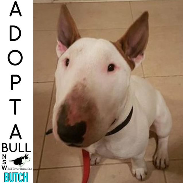 Photo of Adoptabull   Butch