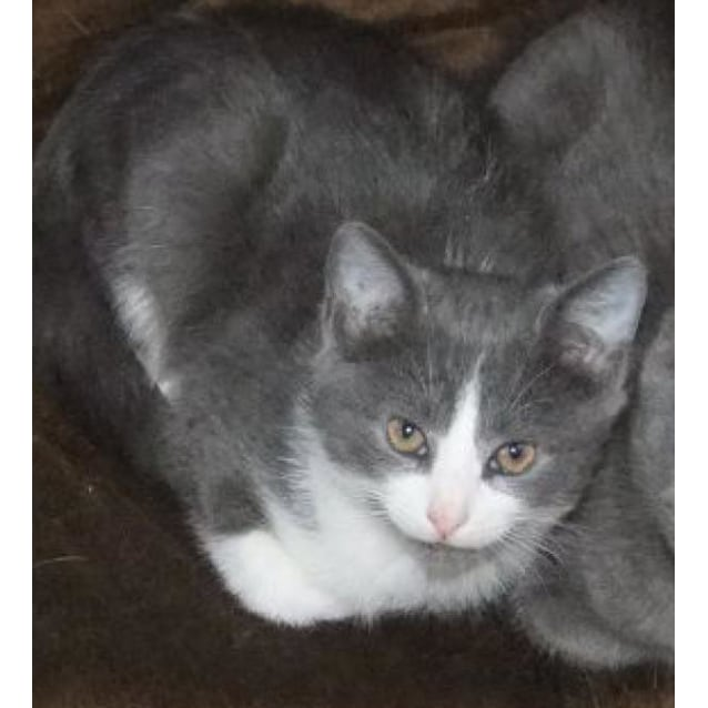 Caru Grey And White Male Kitten Male Domestic Short Hair Cat In Nsw Petrescue