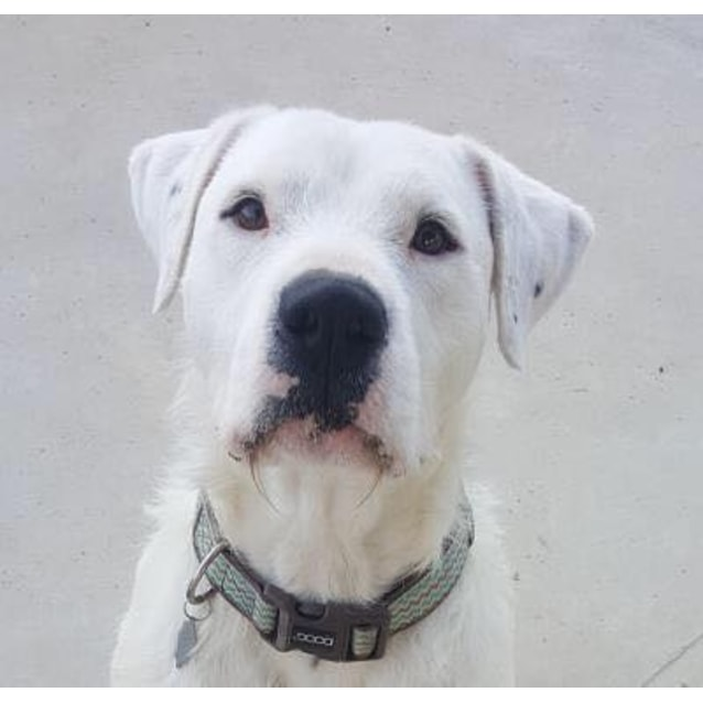 Oakey - Large Male Wolfhound Mix Dog in VIC - PetRescue