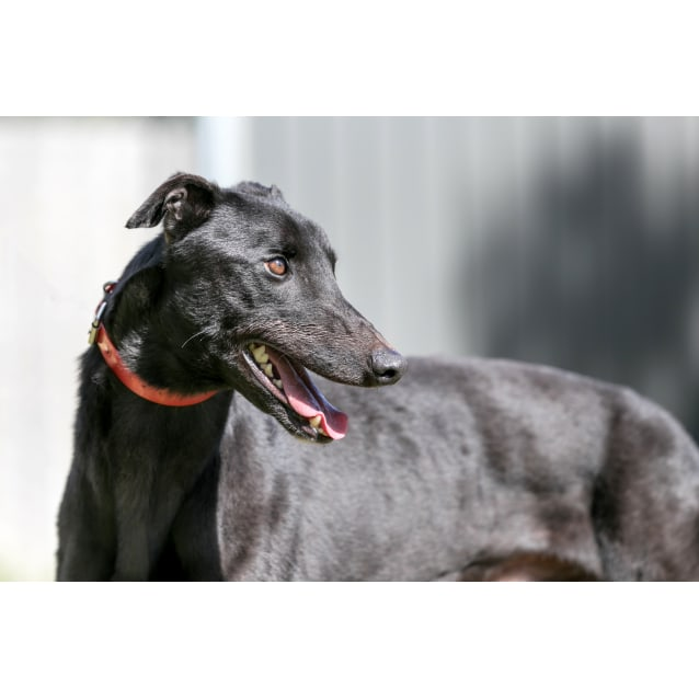 Tank - Large Male Greyhound Dog in WA - PetRescue
