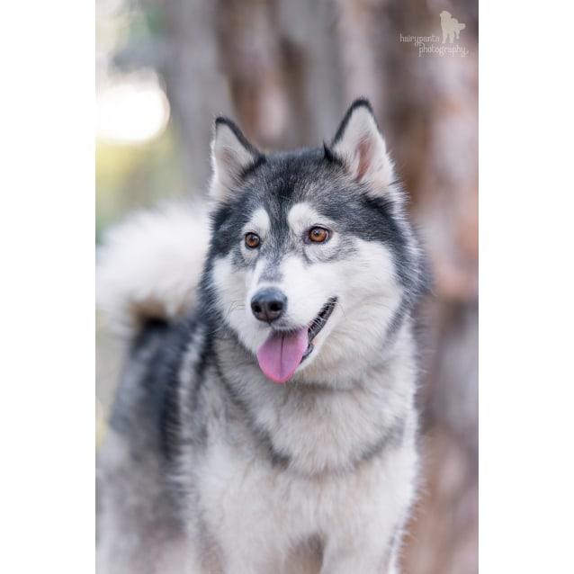 Ada ~On Trial~ - Medium Female Siberian Husky Dog in QLD