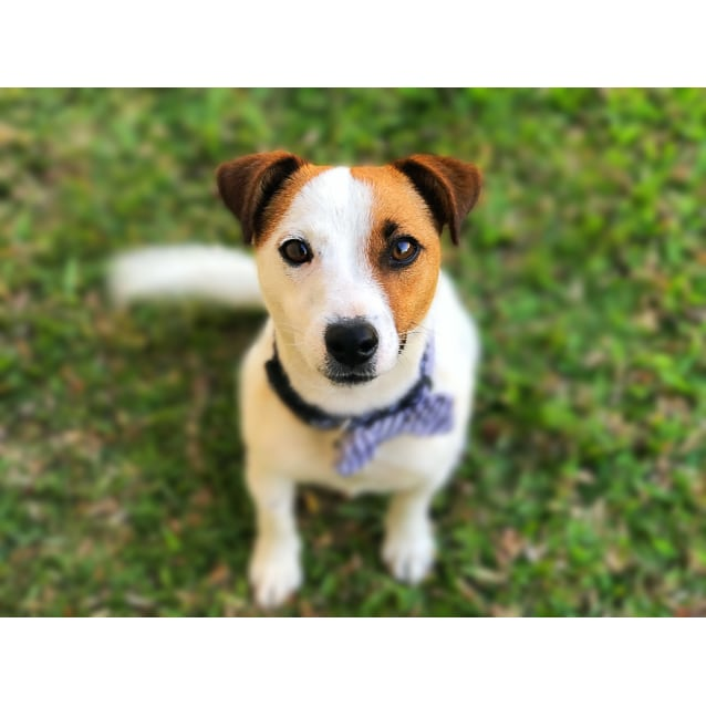 Jack Small Male Jack Russell Terrier Dog In Qld Petrescue