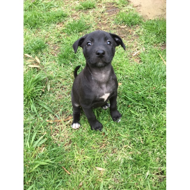Kelpie x pups - Medium Female Kelpie x Labrador Mix Dog in VIC