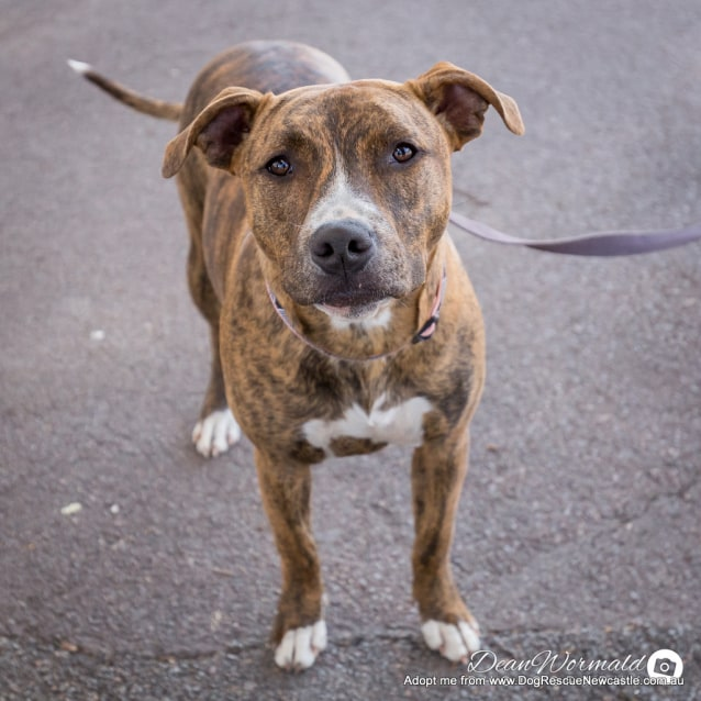 Photo of Luca ~ Staffy X (On Trial 4/11/2017)