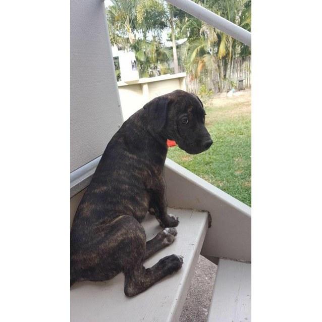 Quinn - Large Male Mastiff x Staffy Mix Dog in QLD - PetRescue
