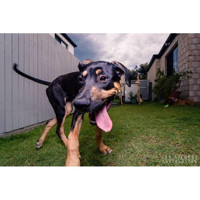 Violet Crumble *Adoption Pending* - Large Female Mastiff Mix Dog in