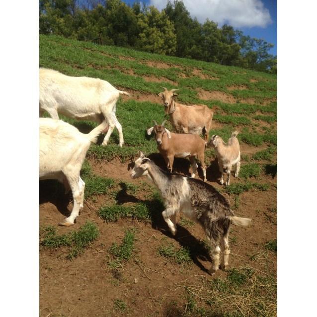 Photo of Bottle Fed Baby Goats