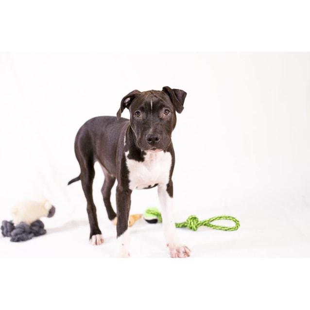Mickey - Medium Male American Staffordshire Terrier Dog in