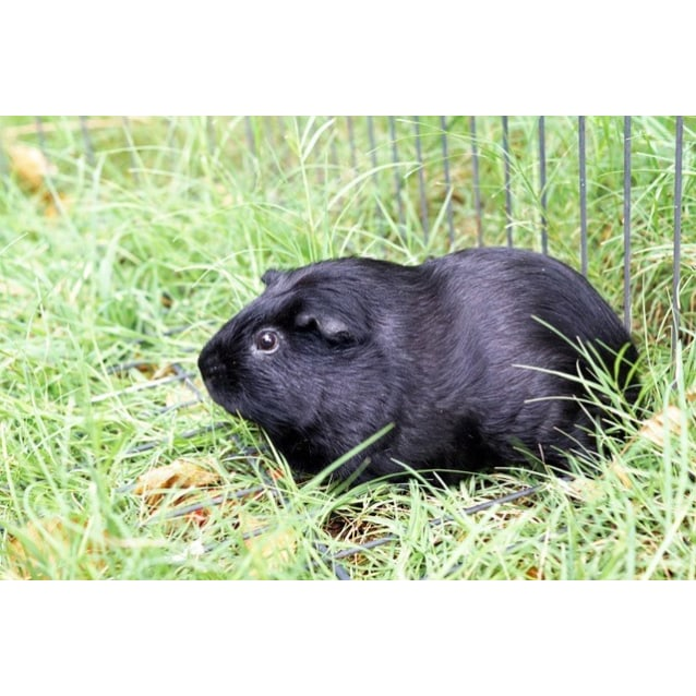 Nibbles R042 - Male Short-hair Guinea Pig Guinea Pig in WA ...