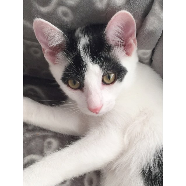 Photo of Ace ~ Kitten (On Trial 30/7/2018)