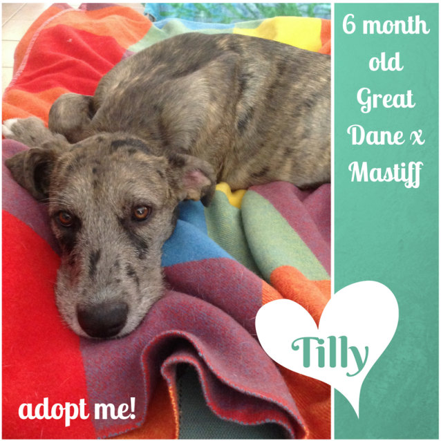 Photo of Tilly ~ Great Dane X Mastiff (On Trial 28/2/2018)