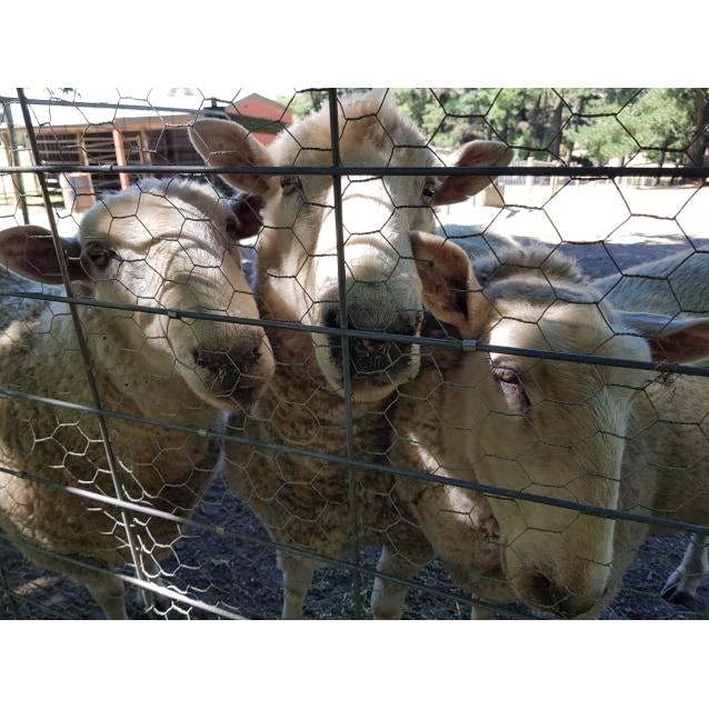 Photo of Stupendous Sheepies