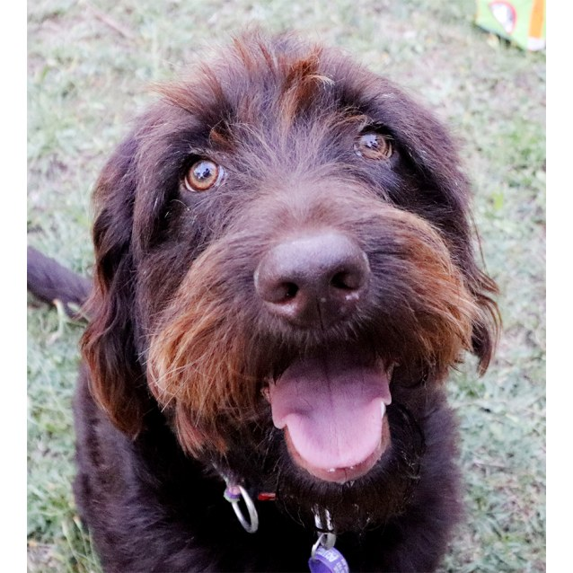 Rosie Medium Female Labradoodle Dog In Qld Petrescue