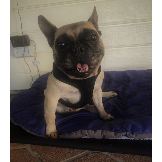 Annie - Small Female French Bulldog Dog in NSW - PetRescue