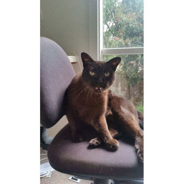 Chaser The Dashing Burmese Cat Male Burmese Cat In Vic Petrescue