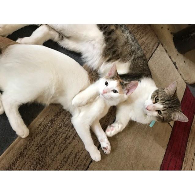 Photo of Coconut Calico Cat