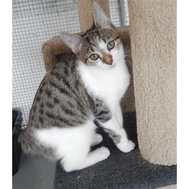 Kamiya - Female Manx Cat in QLD - PetRescue