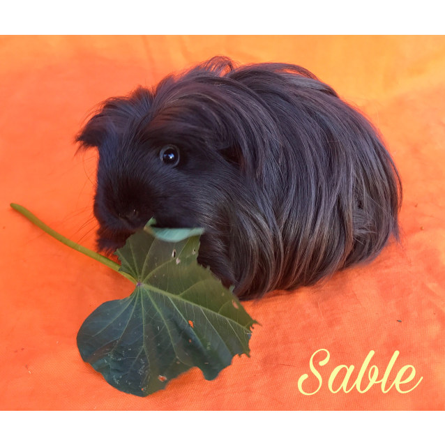 Photo of Sable