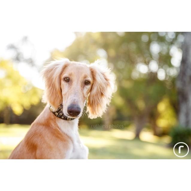 Aslan Medium Male Saluki Dog In Nsw Petrescue