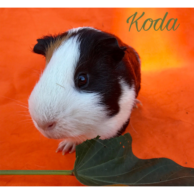 Photo of Koda