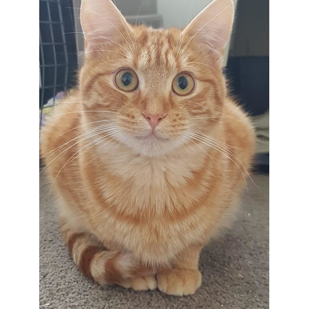 Photo of Ginger Pussy Puss **2nd Chance Cat Rescue**